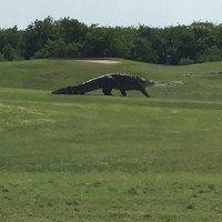 Cá sấu lừng lững dạo qua sân golf xuống hồ