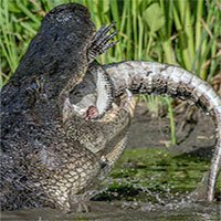 Cá sấu mõm ngắn giết chết đồng loại để ăn thịt