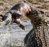 Cá sấu ném con mồi như đồ chơi
