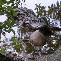 Cá sấu tấn công và ăn thịt cá mập khiến chuyên gia kinh ngạc