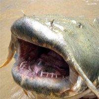 Cá trê khổng lồ dài hơn 2m do nhiễm phóng xạ Chernobyl?