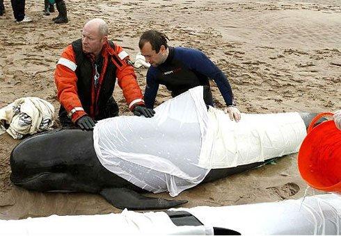 Cá voi chết hàng loạt tại Scotland