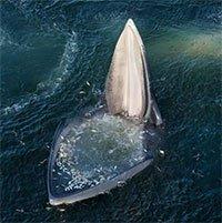 Cá voi há miệng chờ con mồi tự nộp mạng