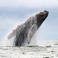 Cá voi húc tung thuyền khiến du khách gãy xương sườn