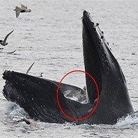 Cá voi lưng gù phi thân thẳng đứng nuốt trọn bầy hải âu