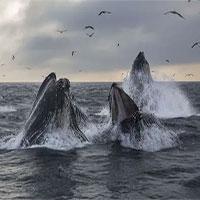 Cá voi ngày nay di cư với cùng lộ trình của tổ tiên chúng sống cách đây 270.000 năm!