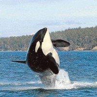 Cá voi sát thủ già nhất thế giới qua đời ở tuổi hơn 100