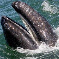 Cá voi từng là sát thủ săn mồi răng sắc như sư tử