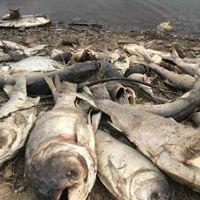 Các hiện tượng cá chết hàng loạt khắp thế giới
