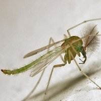 Các loài muỗi
