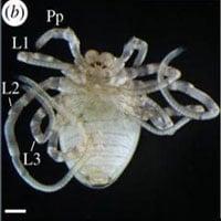 Các nhà khoa học đã làm thể nào để biến nhện chân dài thành chân ngắn?