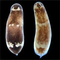 Các nhà khoa học đã tìm ra nguyên nhân: Vì sao sâu có thể tái sinh sau khi đã bị chia đôi?