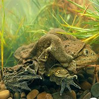 Các nhà khoa học nỗ lực cứu loài ếch lớn nhất sống dưới nước