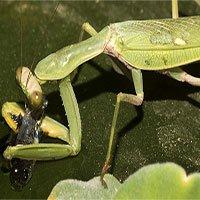 Các nhà khoa học phát hiện ra loài bọ ngựa săn cá
