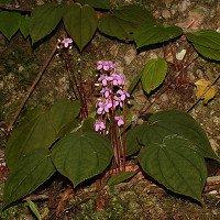 Các nhà khoa học Việt công bố loài thực vật mới cho thế giới