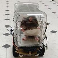 Các nhà nghiên cứu tự chế chiếc ô tô tí hon để dạy loài chuột lái xe