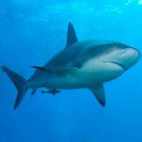 Các nước EU cho phép đánh bắt cá mập phục vụ công tác nghiên cứu
