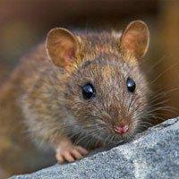 Cách diệt chuột của người Nhật