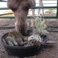 Cách lạc đà nhai nuốt xương rồng gai