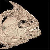 Cách mọc răng giúp cá piranha ăn sạch mọi thứ