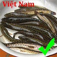 Cách phân biệt cá lóc Việt Nam và cá chuối Trung Quốc
