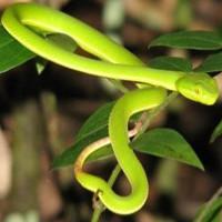 Cách sơ cấp cứu và phòng ngừa rắn lục đuôi đỏ cắn