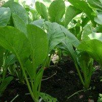 Cách trồng rau cải ngọt xanh tốt tại nhà