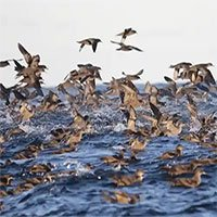 Cái chết bí ẩn của hàng triệu con chim biển được giải đáp