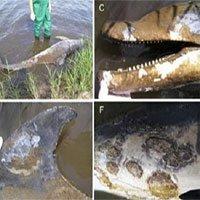 Căn bệnh bí ẩn khiến cá heo lở loét toàn thân