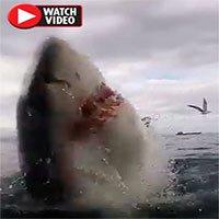 Cận cảnh cá mập trắng tấn công điên cuồng khiến du khách hãi hùng