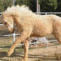 Cận cảnh giống ngựa lông xoăn Bashkir kỳ lạ nhất thế giới