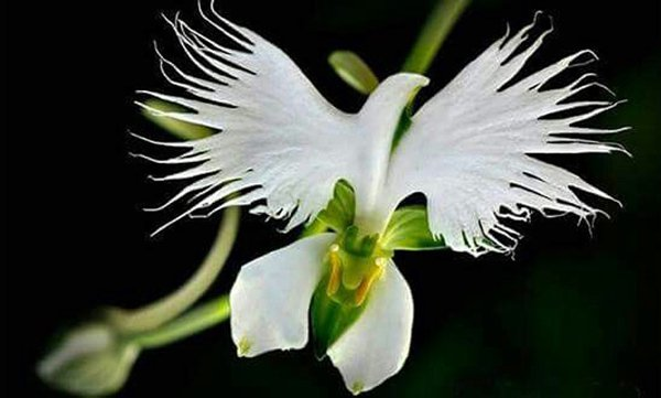 Cận cảnh loài hoa lạ hình chim hạc sải cánh tuyệt đẹp