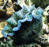 Cận cảnh những đôi môi khổng lồ xanh biếc dưới Biển Đông
