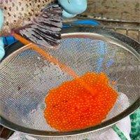 Cận cảnh quá trình người nước ngoài thu hoạch trứng từ một con cá hồi còn sống