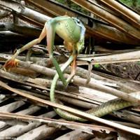 Cận cảnh rắn tí hon vật vã nuốt chửng ếch khổng lồ