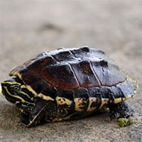 Cảnh báo nuôi rùa làm cảnh có thể rước bệnh vào thân