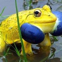 Cánh đồng ở Ấn Độ bỗng xuất hiện đàn ếch màu vàng chóe kỳ dị