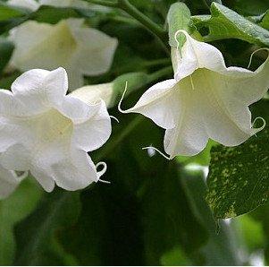 Cảnh giác với độc dược từ loài hoa