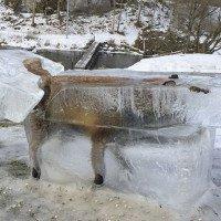 Cáo đông cứng trong quan tài băng giữa trời lạnh -30 độ C