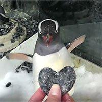 Cặp đôi chim cánh cụt đực đồng tính được tặng trứng để ấp như thật
