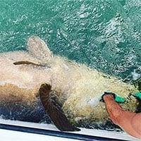 Câu được cá mú khổng lồ nặng gần 2 tạ, tưởng như đã tuyệt chủng