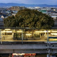 Cây 700 tuổi tại Nhật Bản cứ bị chặt là có người đổ bệnh