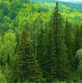Cây cổ thụ hấp thu nhiều khí CO2 so với các cây non