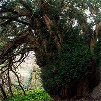 Cây đại thụ bất ngờ chuyển giới sau 3.000 năm