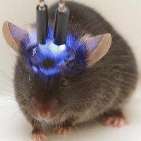 Cấy não người mini vào chuột gây lo ngại về loài lai thông minh