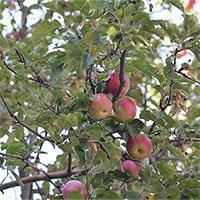 Cây táo hiện đại là giống lai của ít nhất 4 quần thể táo hoang