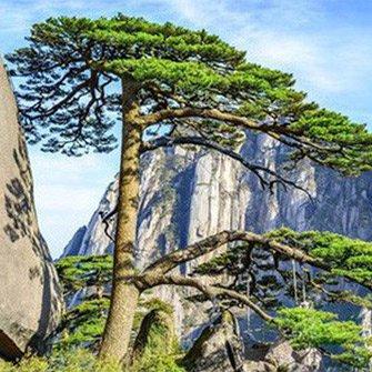 Cây thông nghìn năm tuổi nổi tiếng nhất Trung Quốc sắp chết vì