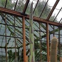 Cây thùa 57 năm mới nở hoa rồi chết