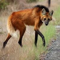 Chân dài 1 mét! Được gọi lá sói thế nhưng lại thích ăn hoa quả