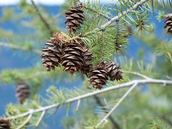 Chất chiết từ cây thông tăng cường trí nhớ